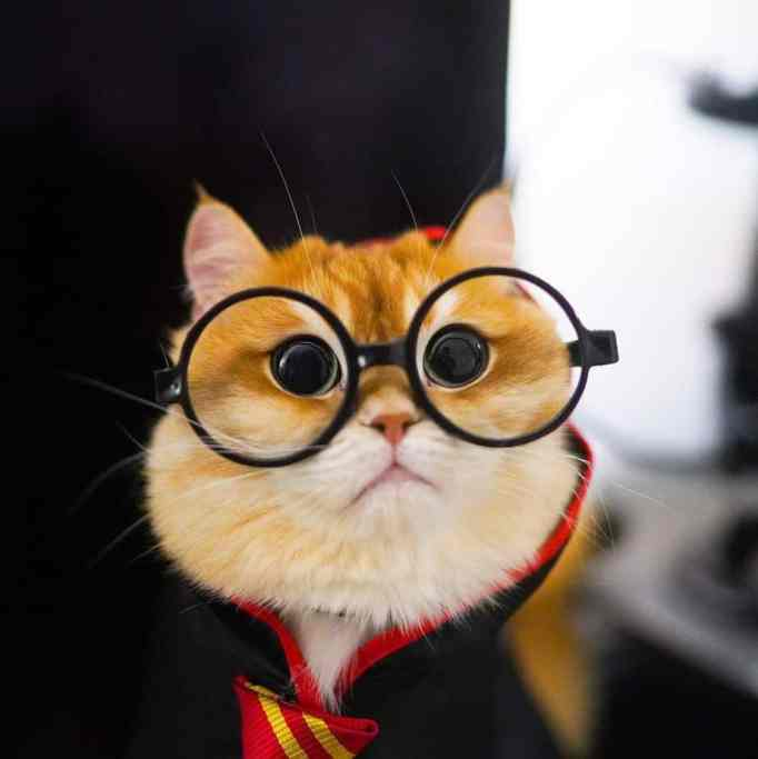Pisco the cat wearing glasses