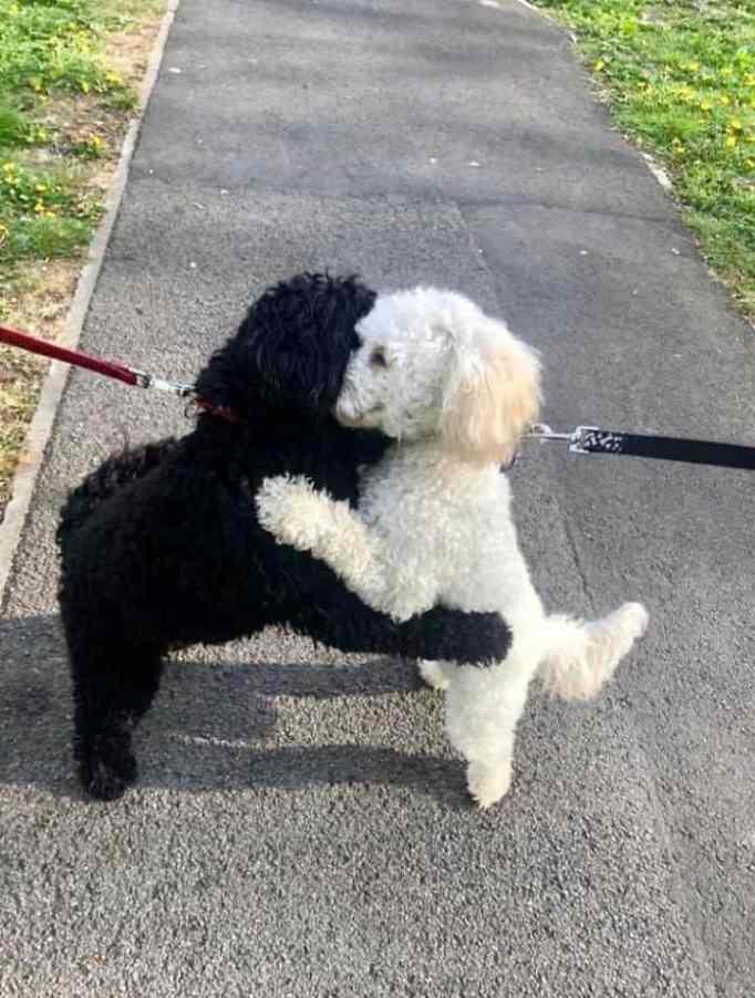 Two cockapoos hugging