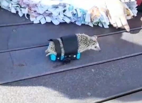 A hedgehog wearing custom wheelchair