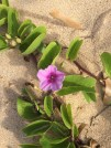 flowering vines at the beach