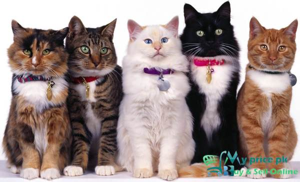 How To Buy a Cat in Pakistan Cat Breed Family Name and Price with Pics