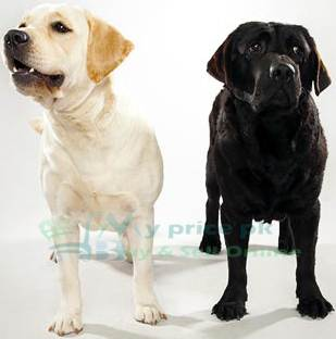 Labrador Retriever Dog Price in Pakistan Young and Puppies