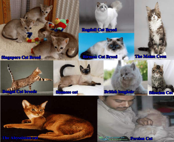 Top Breeds/Families of Cats that are Available in Pakistan Price and Pictures
