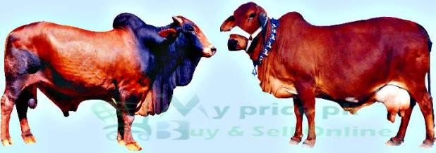 Top Cows, Cattle Desi/Breeds/Imported Price in Pakistan With Pictures For Dairy
