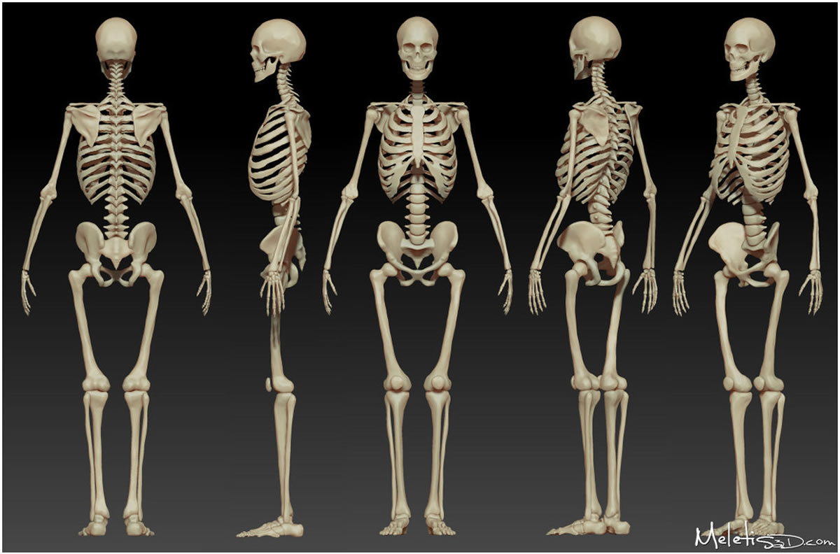 Hyman Body : The Skeleton