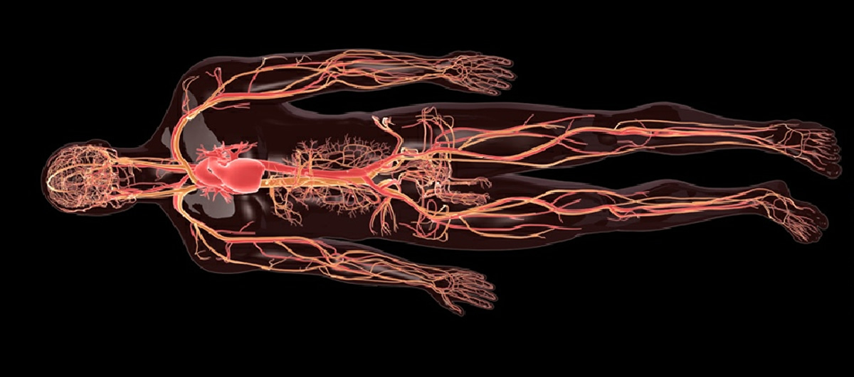 Human Body : Arteries, veins and capillaries