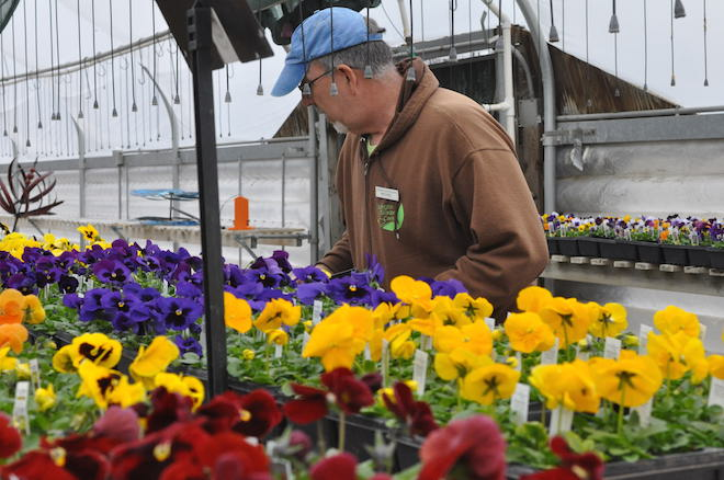 A Wintry Mix Of Rain And Snow Fell Outside As Greenhouse Manager Michael  Oster Worked In The Warm And Colorful Confines Of The Burlington Garden  Center ...
