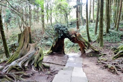 trees in the Alishan Forest Taiwan