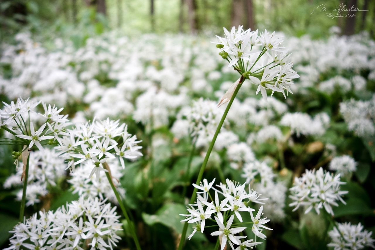 close up of beautiful wild garlic in the Białowieża forest
