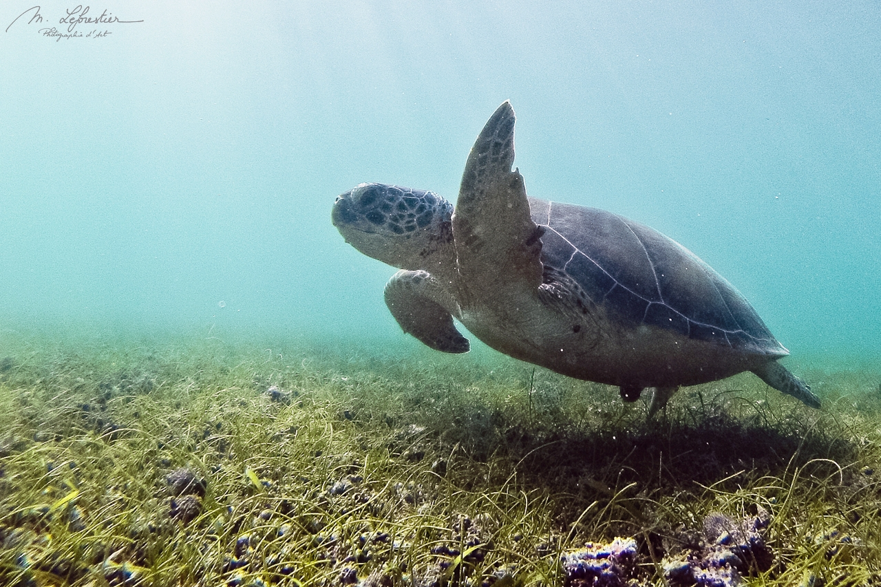 Hello there green turtle !Swim with turtles in Akumal