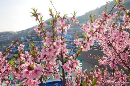 Gamcheon cultural village flower blossom Busan South Korea