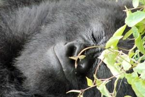 smiling or sleeping mountain gorilla Rwanda
