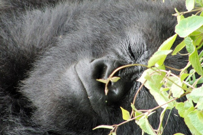 smiling or sleeping mountain gorilla Rwanda