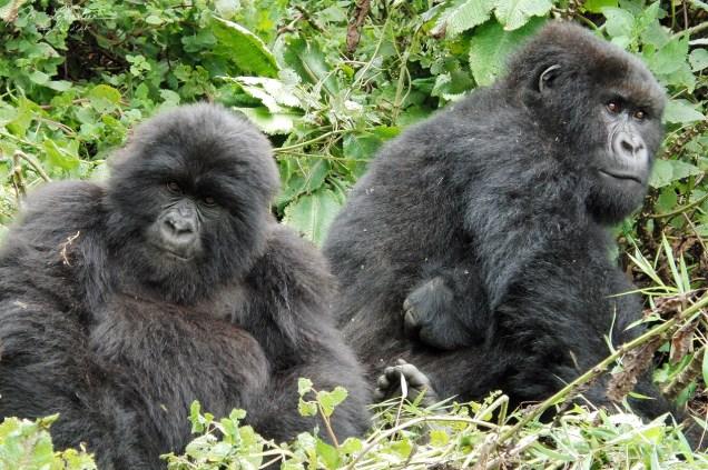 mountain gorillas in Rwanda
