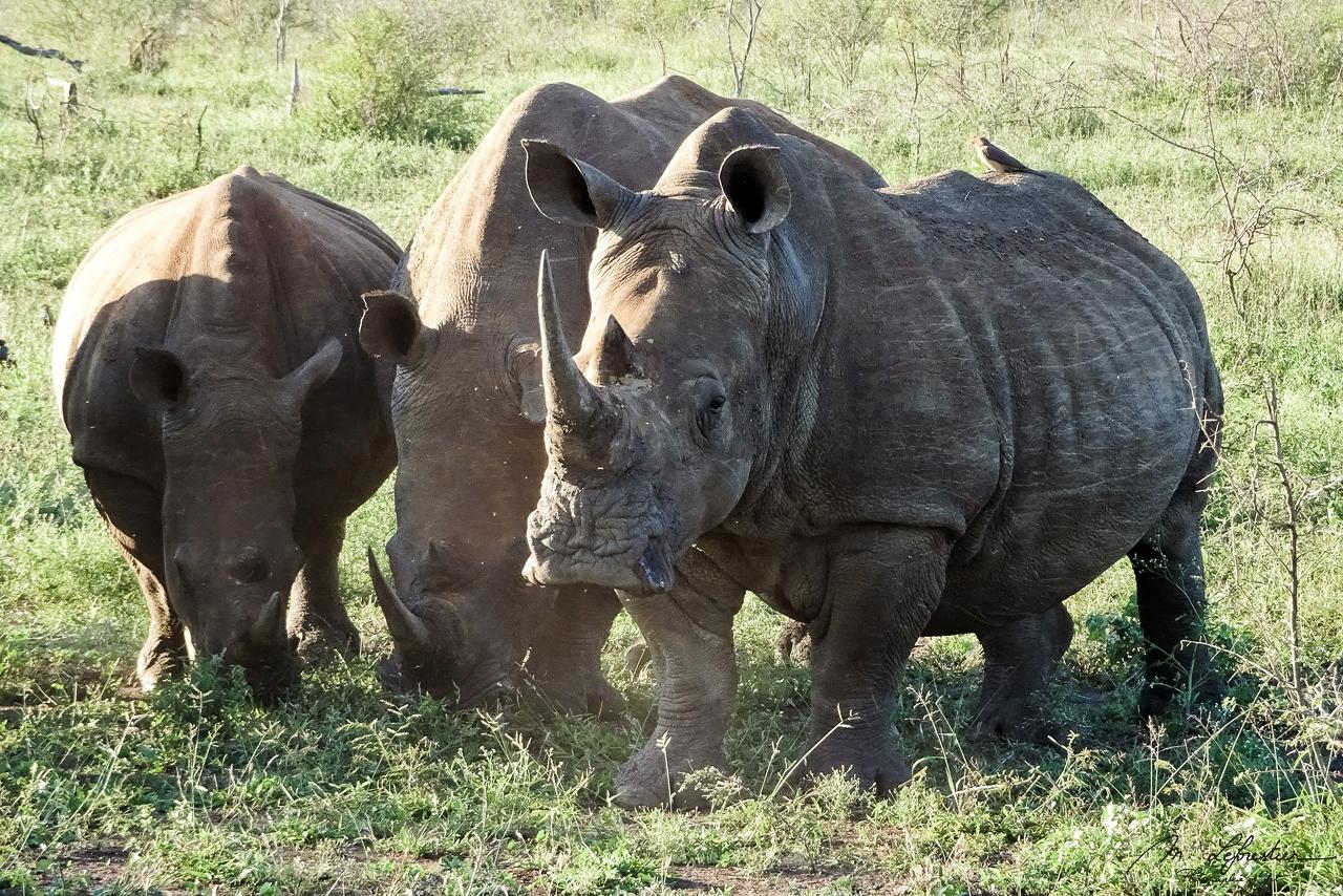white rhinos Hlane National Park Swaziland Simunye