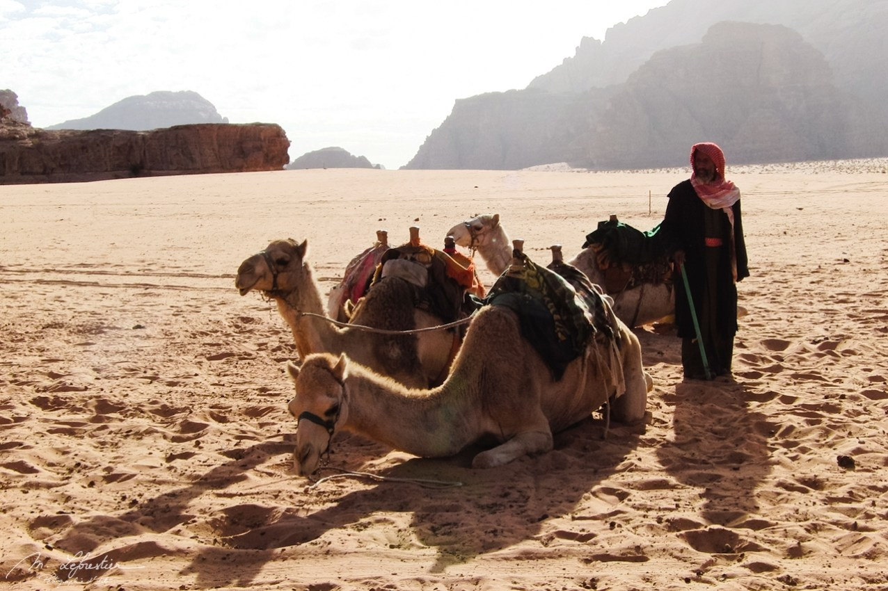 camels and a bedouin at the wadi rum red desert