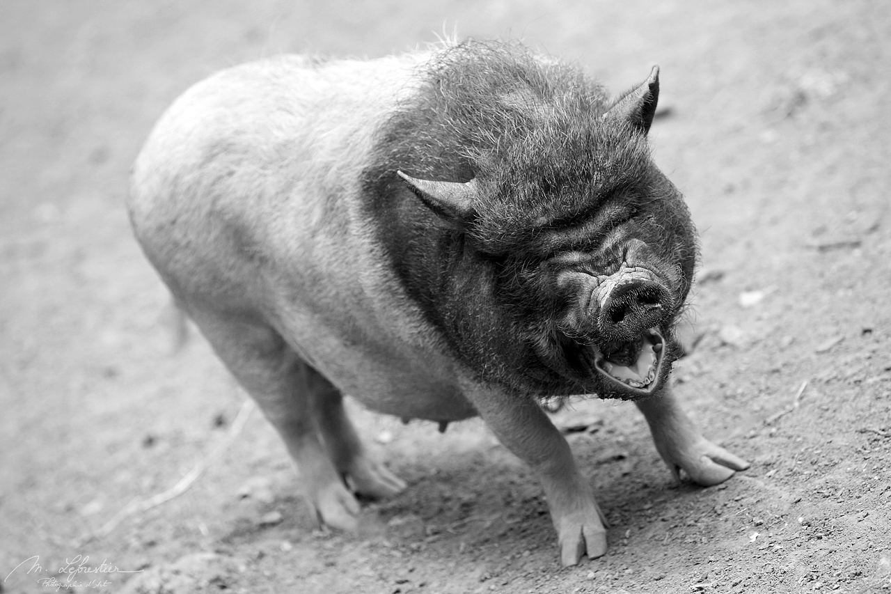 not so happy pig in Guedelon castle france burgundy black and white photo