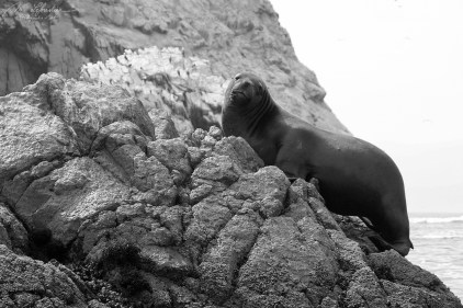 sea lion at the islas islands ballestas in Peru Galapagos of the poor