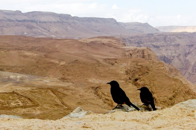 two Tristram's starling or Tristram's grackle birds looking at the view from Masada in Israel