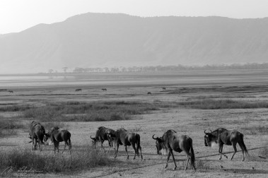 Wildebeests in the Ngorongoro conservation area in Tanzania during a game drive