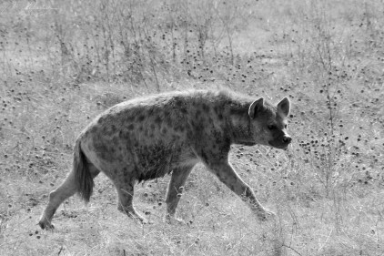 Spotted hyena in the Ngorongoro crater during a wildlife safari