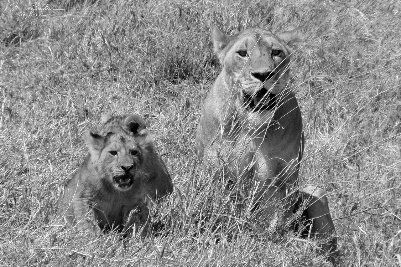 lioness and cubs at the Ngorongoro crater black & white photography