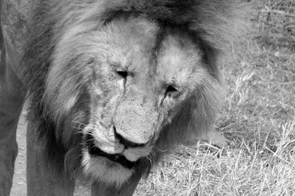 thirsty male lion in the Ngorongoro conservation area
