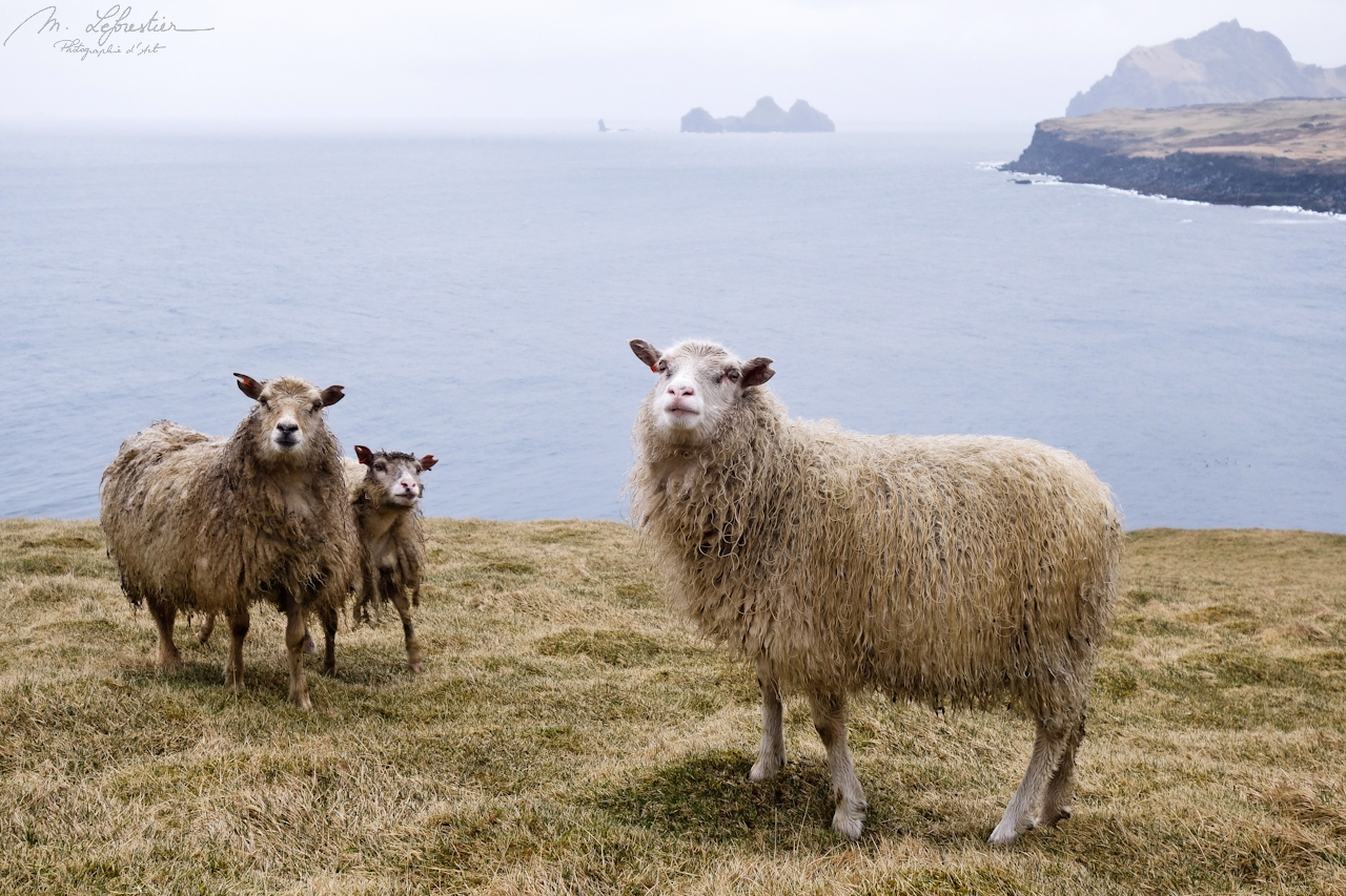 three sheep in Heimaey iceland under the rain