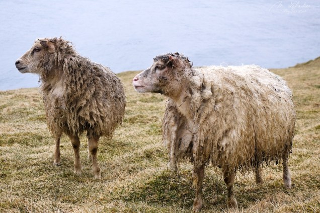 two sheep looking on the side in Heimaey island