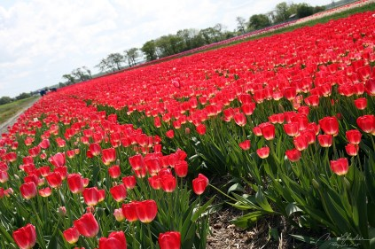 flower fields, tulips, in the north of Holland