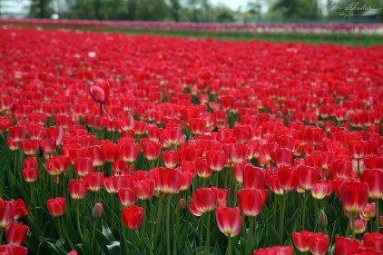 red tulip fields in the North of the Netherlands close to Lisse