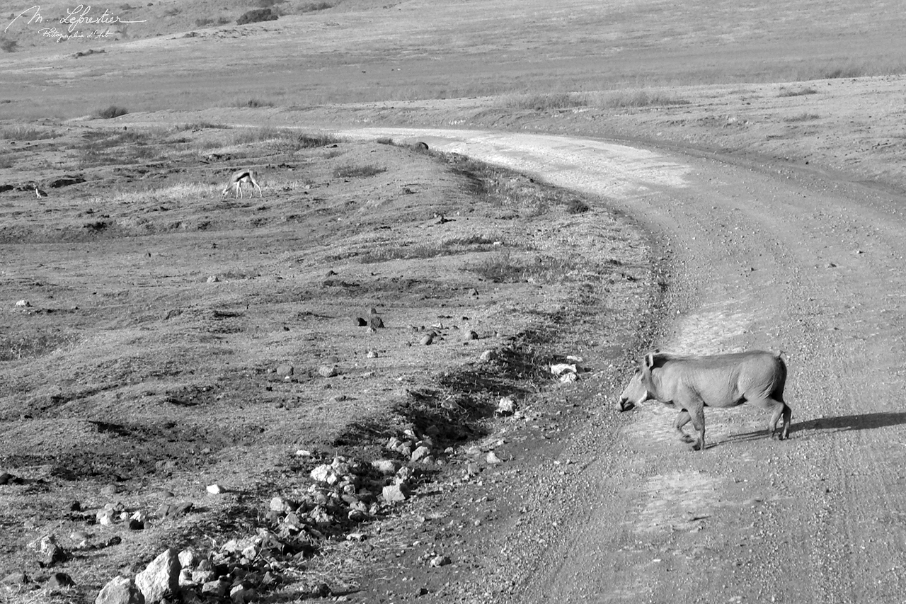 pumba warthog crossing the road in the Ngorongoro crater in Tanzania