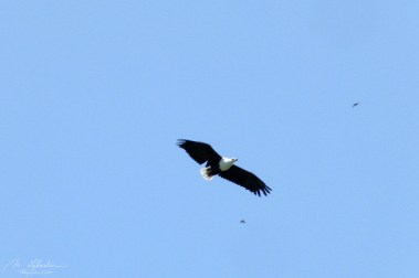 african fish eagle flying over the Kazinga channel in Queen Elizabeth National park in Uganda Africa