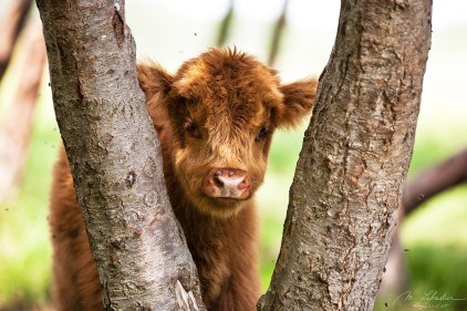 portrait of a cute baby scottish highland wild cow hiding in between 2 trees in Lentevreugd in the Netherlands, with flies around