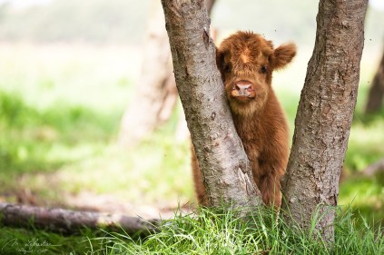 baby scottish highlander cow scratching his head on a tree to avoid flies in Lentevreugd nature reserve in the Netherlands, the cutest !