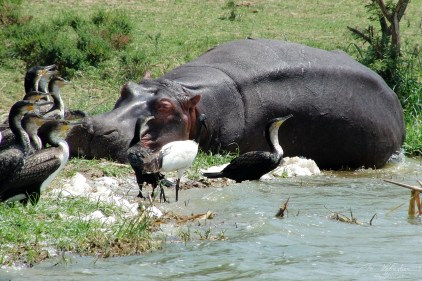 birds with a sleeping hippopotamus at the Kazinga channel in Queen Elizabeth National Park in Uganda Africa