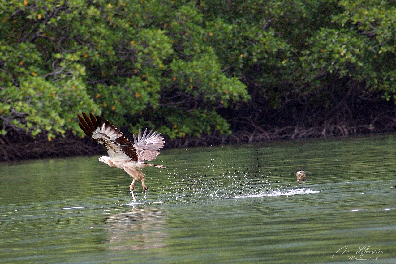 an eagle just flying out of the water after picking up fish during bird feeding in Langkawi island in Malaysia