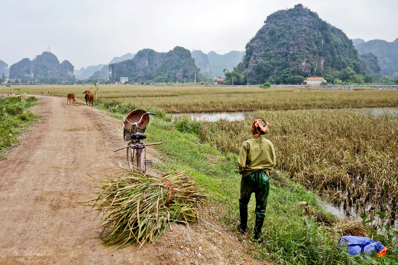 rice fields in Tam Coc with a woman and her bike and cows in the background