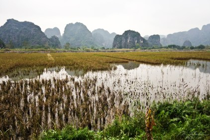 a rice field in Tam Coc Vietnam