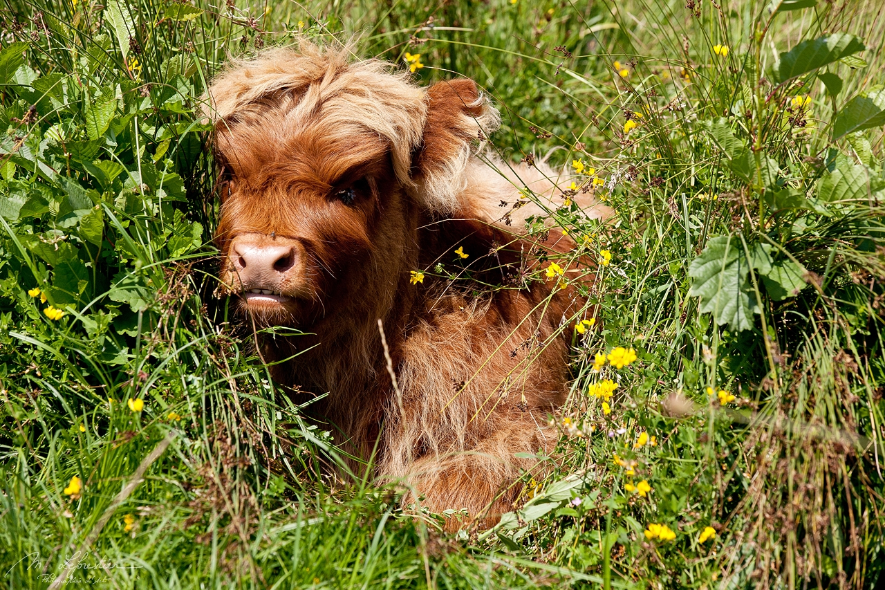 Adorable fluffy scottish highland cow baby, hidden in a bush due to a very heavy sun in Lenteveugd with flies on his head