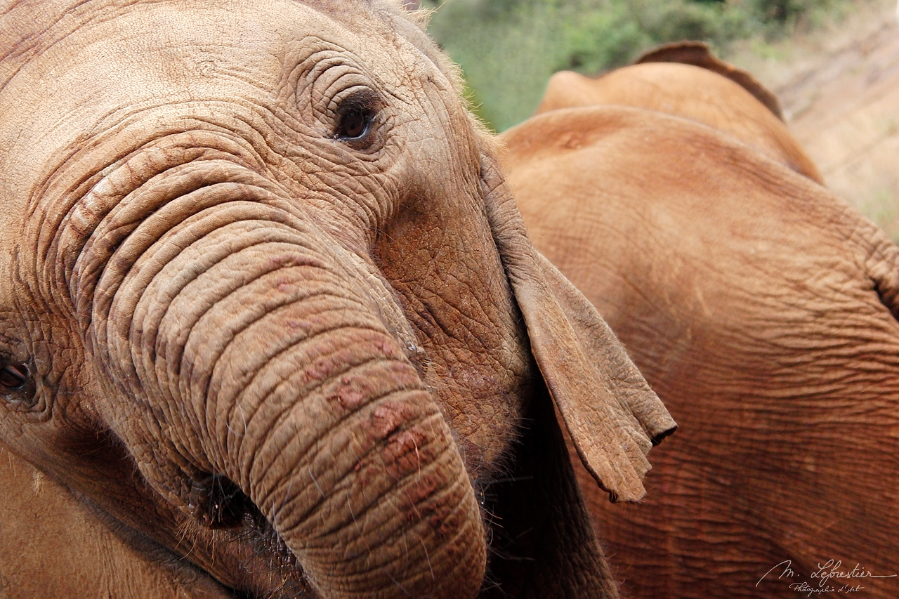 close up of a baby elephant's trunk at the Sheldrick Wildlife Trust in Nairobi Kenya