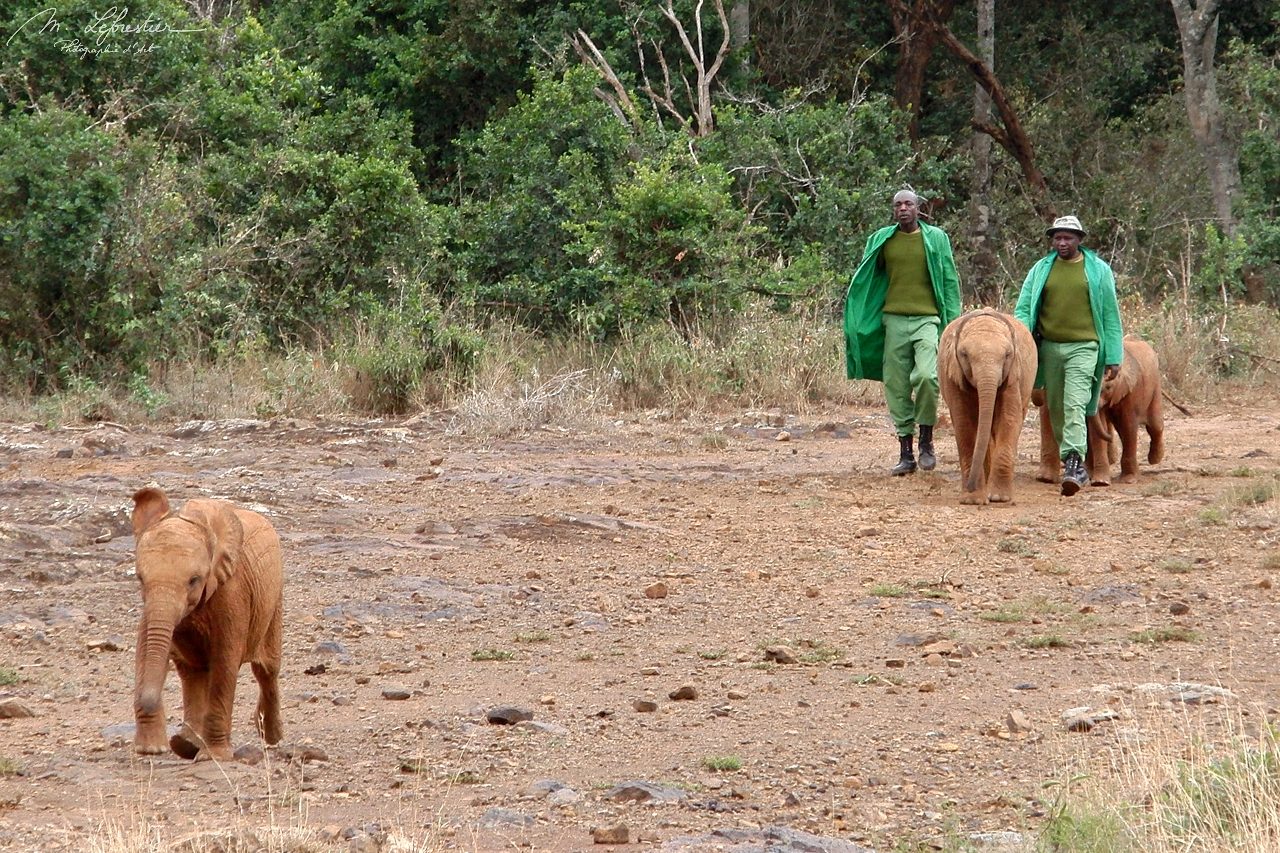 elephants are walking to go to the mud area to drink and play in the mud, at David Sheldrick wildlife trust center in Nairobi Kenya