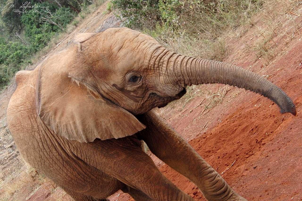 it looks like this baby elephant is smiling at David Sheldrick wildlife trust center in Nairobi Kenya