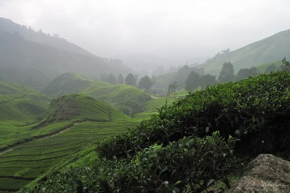 cameron-highlands-06