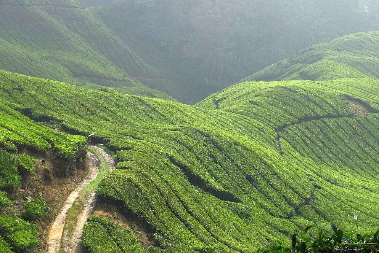 landscape of Cameron Highlands in Malasia: tea plantations everywhere
