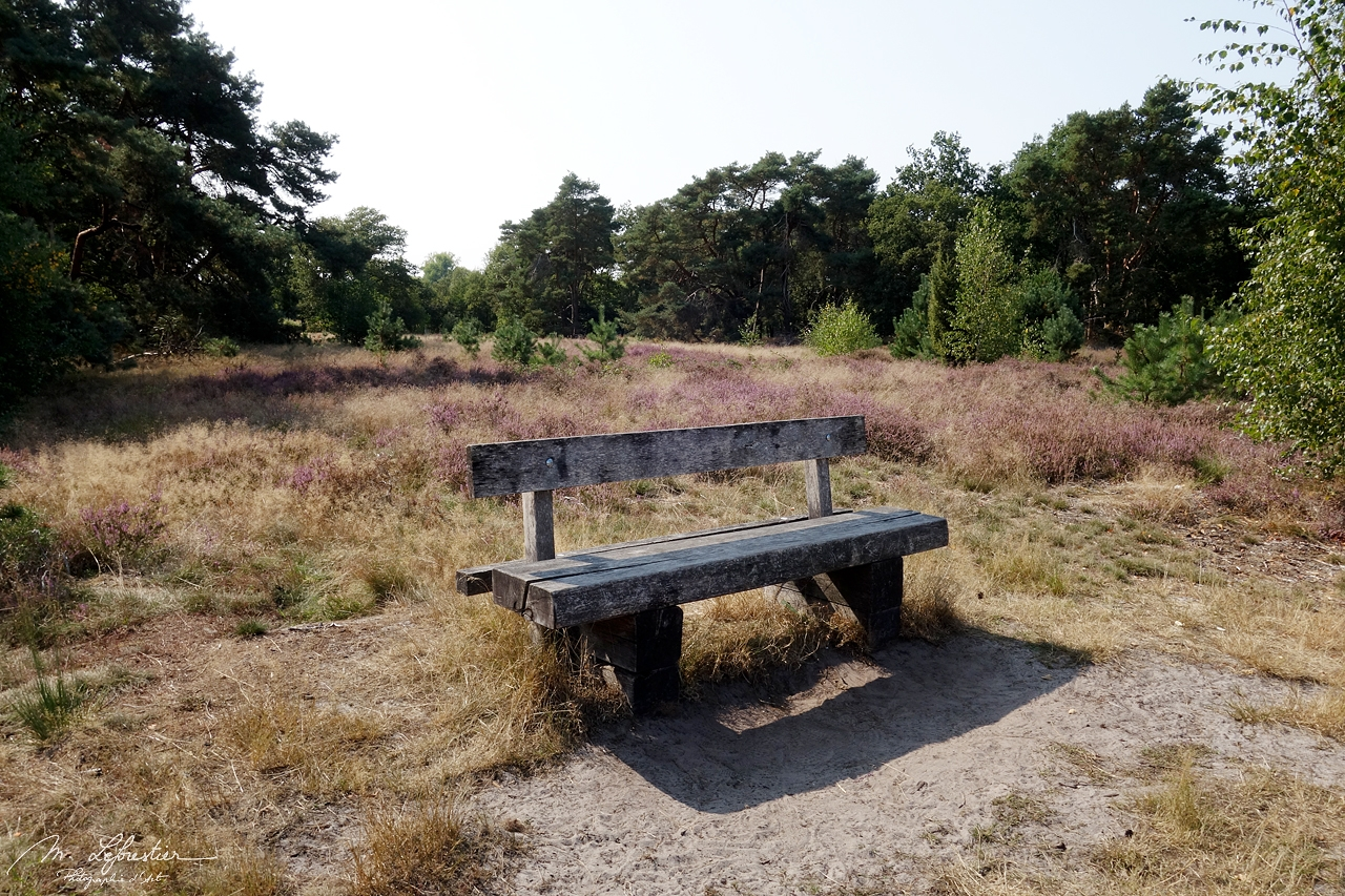 a bench to sit and relax in the Strabrechtse Heide nature reserve in Noord Brabant the Netherlands. Heather in the background
