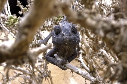 this is a cute chameleon found in the desert in Namibia !