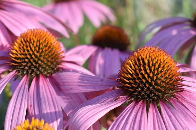 Echinacea : How Does It Affect Your Immune System?