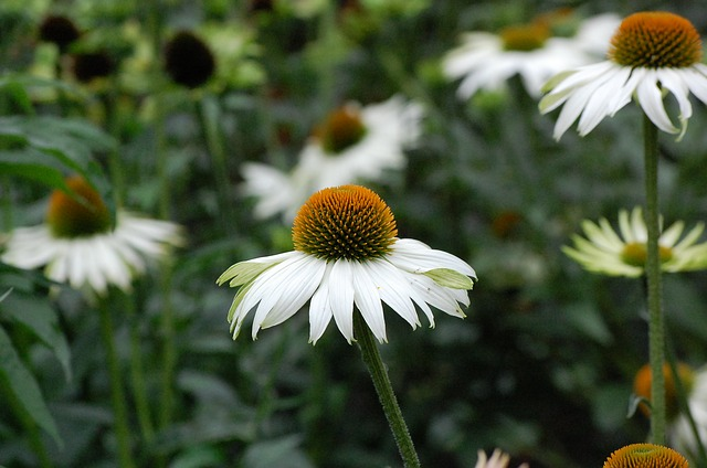 Echinacea : Does It Really Boost Your Immune System?