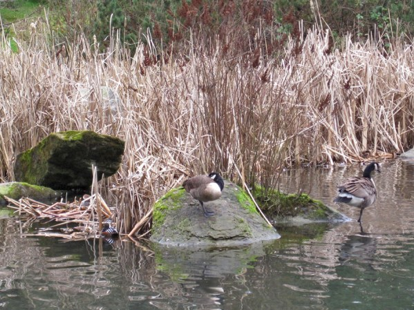 Hooded merganser nest with two hoodie and two goose guards. Viewed from east side of pond.